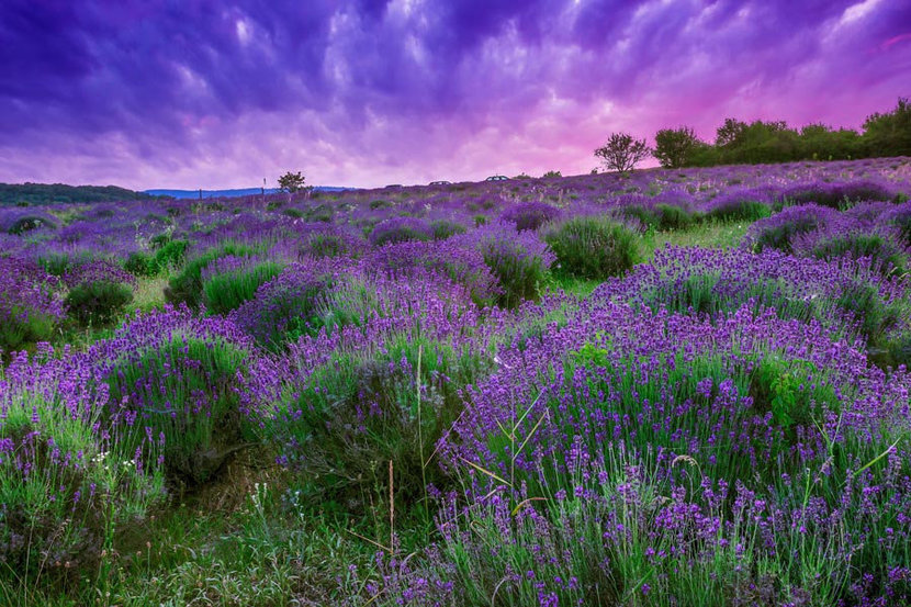 sun sets over a summer lavender field