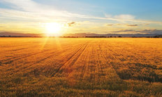 Sunset Over Wheat Field Wallpaper Mural