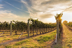 Sunset Vineyard Mural Wallpaper