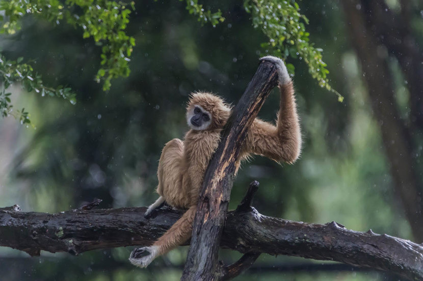 Gibbon Monkey relaxing on a tree branch in a green jungle