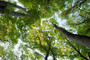 canopy of tall trees in a forest