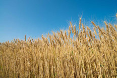 Rural Wheat Field Mural Wallpaper
