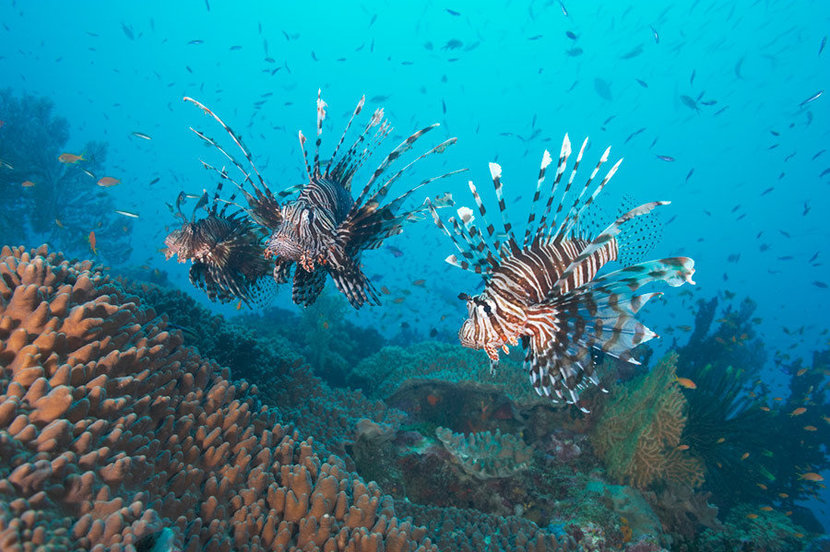 Three Lionfish Over Coral Garden 2 Mural Wallpaper