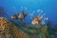 Three Lionfish Over Coral Garden Mural Wallpaper