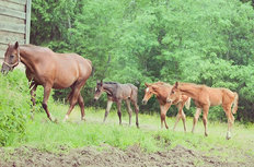 Three Little Foals And Their Mom Wall Mural