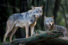 Timber Wolf Pair Wall Mural