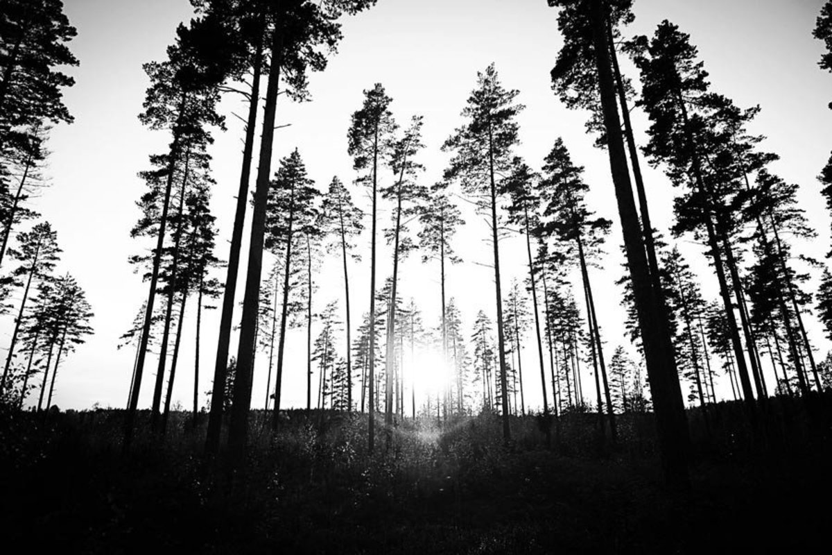 Tall trees in a forest fill this black-and-white scene
