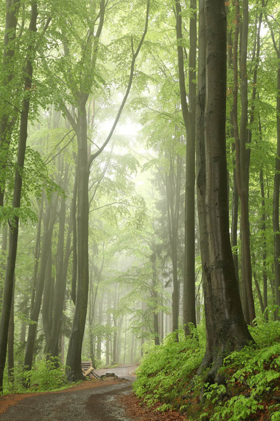 Trail Among Beech Trees In A Misty Spring Forest Wallpaper Mural
