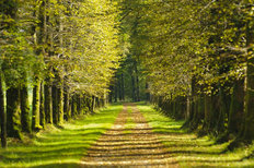 Tree Alley In Summer Wallpaper Mural