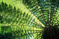 Tree Fern Wall Mural