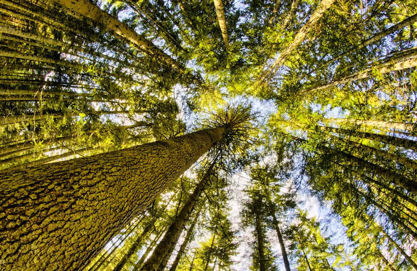densely wooded forest from the perspective of looking up through the trees tops to the light blue sky