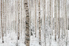 Winter Birch Mural Wallpaper