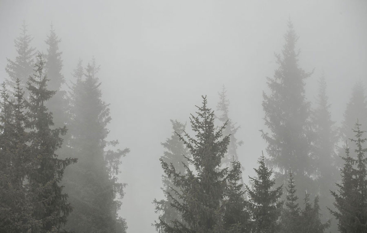 evergreen trees stand tall and reach toward the sky, a dense fog rolls through the forest