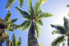 Tropical Palm Trees Overhead Mural Wallpaper