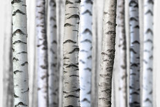 Birch Tree Trunks Wallpaper Mural
