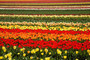 Tulip Fields Wall Mural