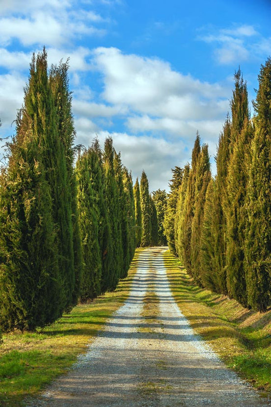 A country road cuts through a forest of Cypress trees