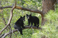 Two Bear Cubs  Wall Mural