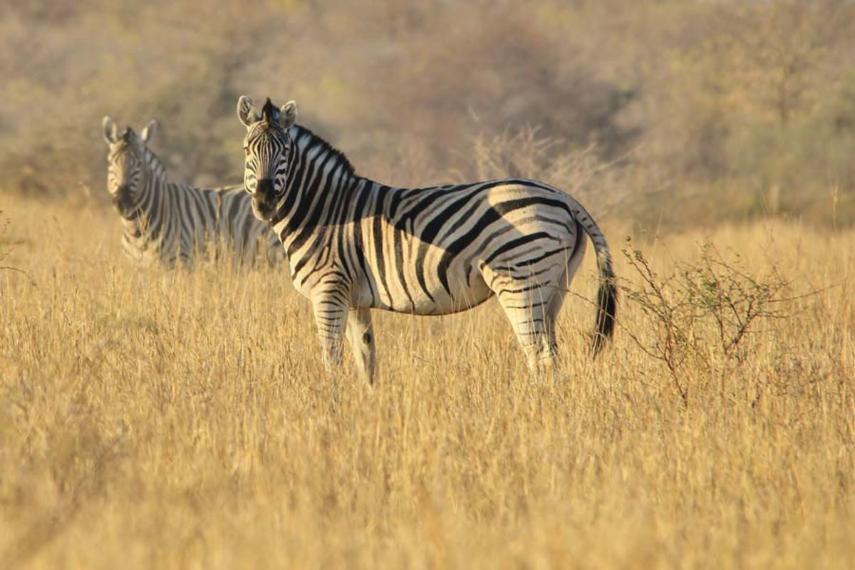 Two zebras graze in the grasslands