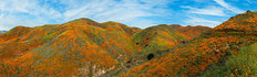 Walker Canyon Poppies Super-bloom Wall Mural