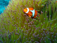 Western Clownfish 2 Mural Wallpaper