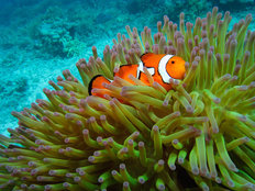 Western Clownfish 3 Mural Wallpaper