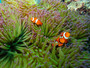 Western Clownfish Mural Wallpaper