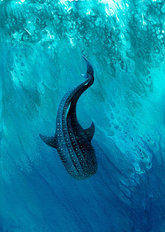 Whale Shark Dive Mural Wallpaper
