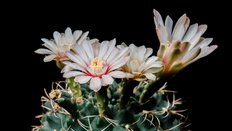White Blooming Cactus Flowers Wall Mural