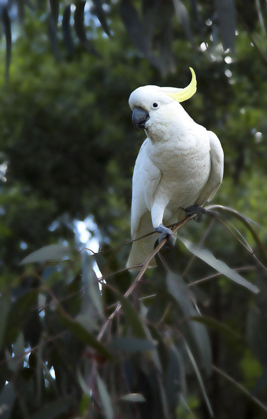 White Cockatoo sitting on a branch