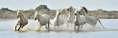 White Horses of Camargue Running Through Water Wall Mural