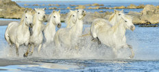 White Horses Of Camargue Running Through The Water Wall Mural
