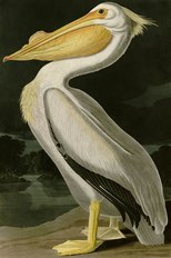 White Pelican Wallpaper Mural