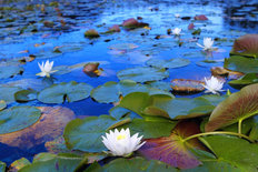 White Water Lilies Mural Wallpaper