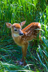 Whitetail Deer Fawn Mural Wallpaper