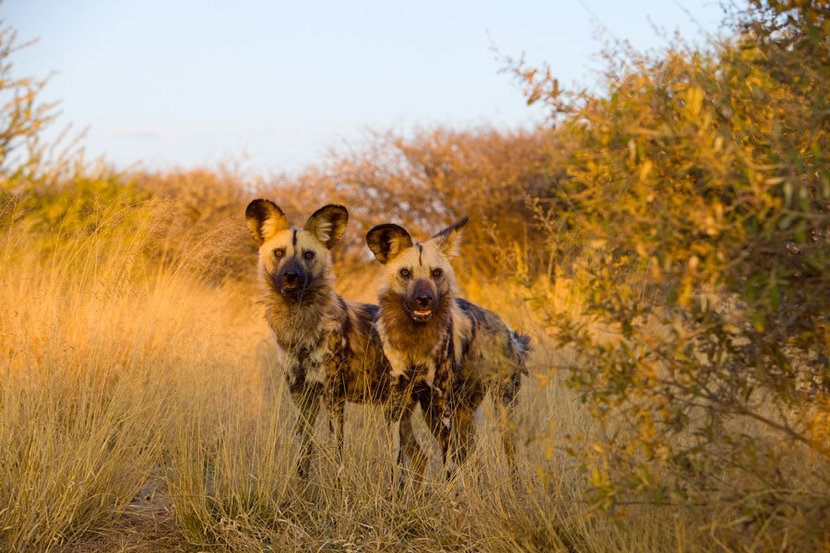 Wild Dogs at Sunset Wallpaper Mural