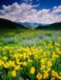Wildflowers At Crested Butte Wallpaper Mural