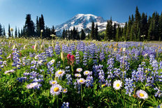 Wildflowers, Mt Rainier Wall Mural