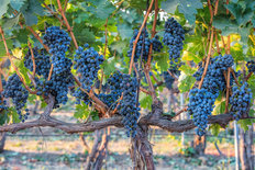 Winery Vines Wallpaper Mural