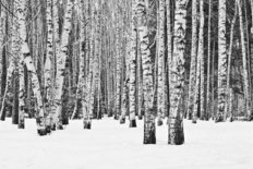Winter Birch Forest Wallpaper Mural