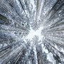 Looking Up Through A Snowy Winter Forest Mural Wallpaper