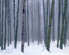 Winter Forest Mural Wallpaper