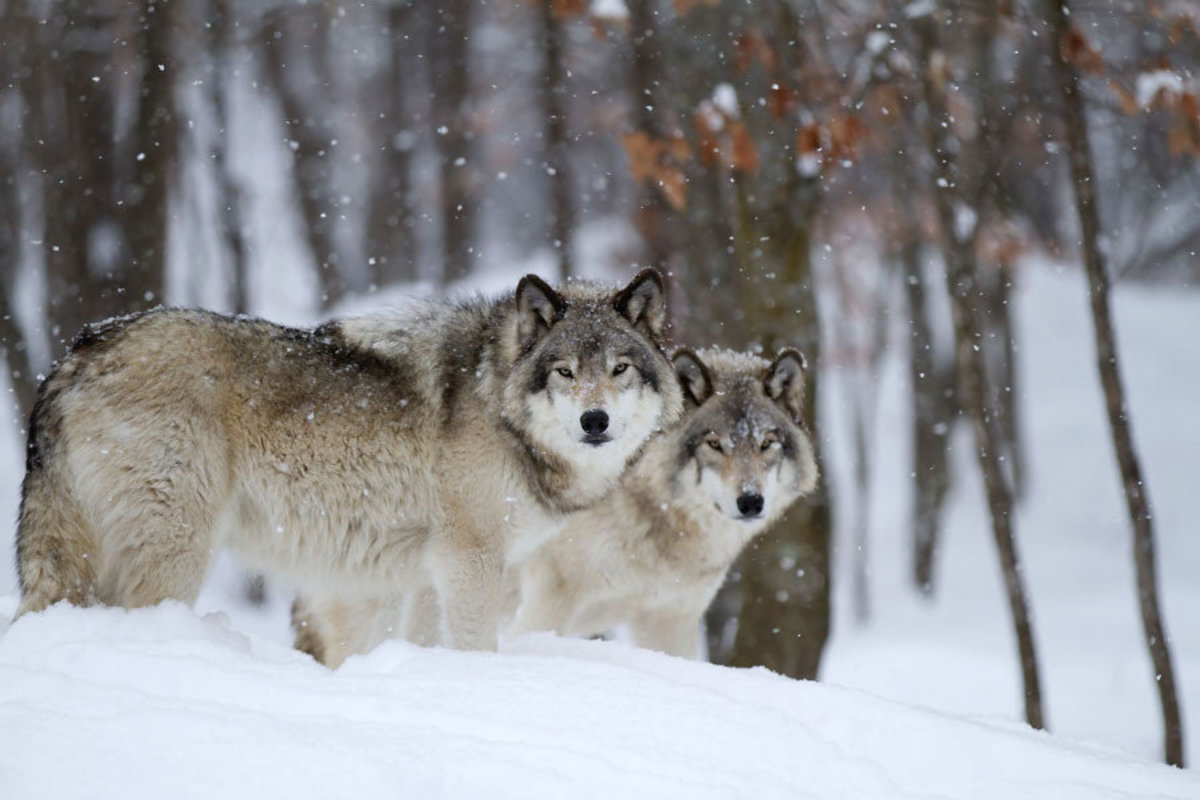 Two timberwolves stand in a snow-covered forest