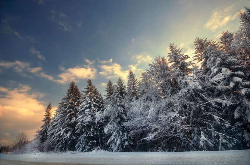 beautiful winter landscape of snow covered pine trees under a soft blue sky