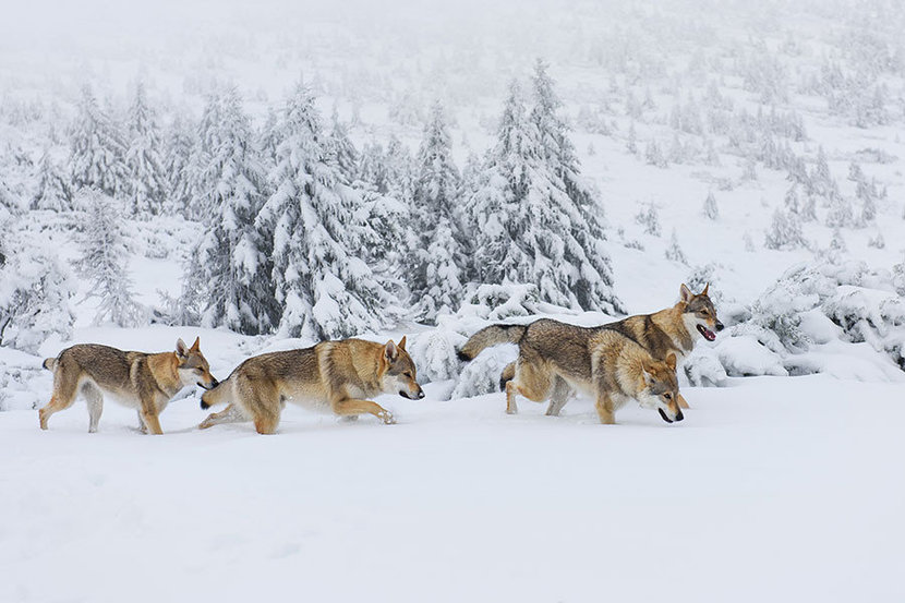 Winter Wolf Pack Wall Mural