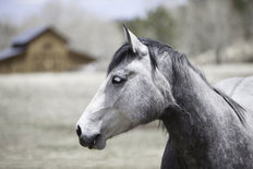 White And Grey Horse With A Blurred Barn Wallpaper Mural
