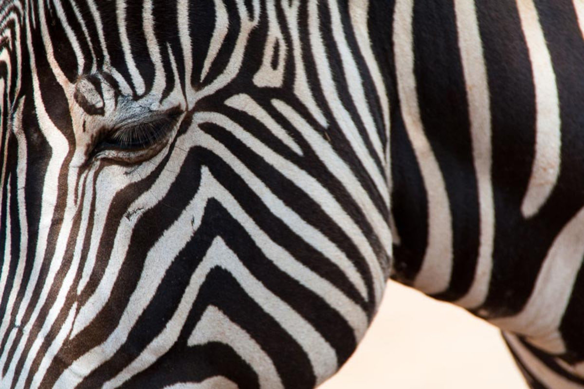 a zoomed in shot of a zebra portrait