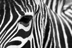 Zebra Closeup Wallpaper Mural