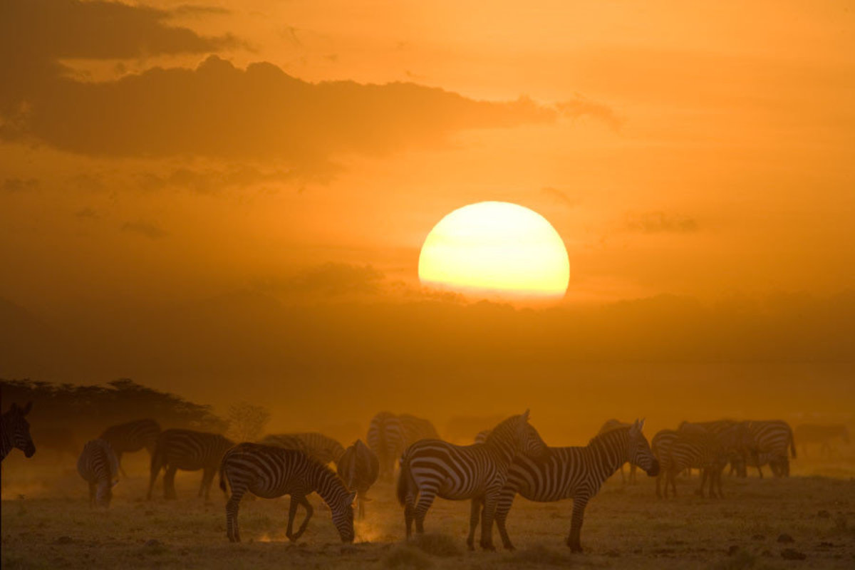 Zebra Herd at Sunset Wall Mural