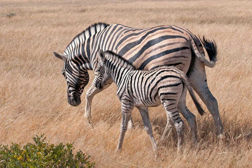 a mother zebra and her baby go for a walk through the African grasslands